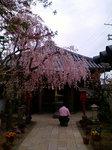 十輪寺境内:のしだれ桜