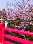 橋の欄干から見た桜